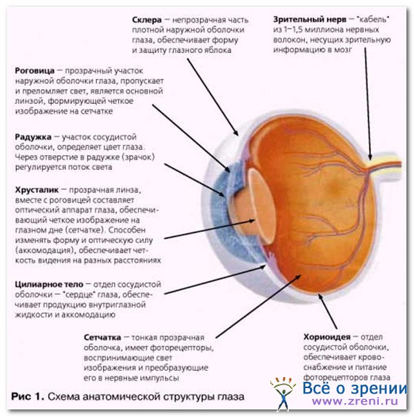 Анатомия и физиология органа