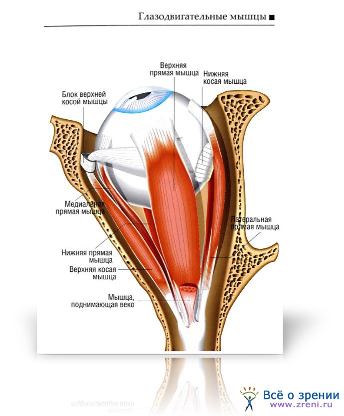 Нерв глазодвигательный фото