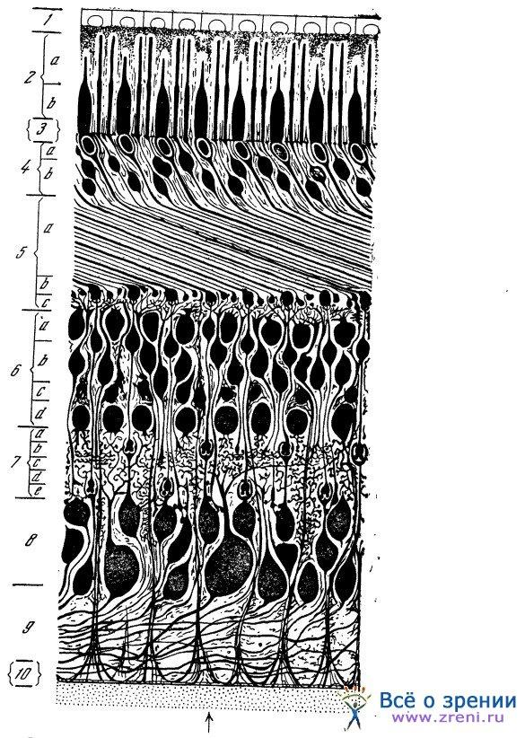 Схема разреза через сетчатку