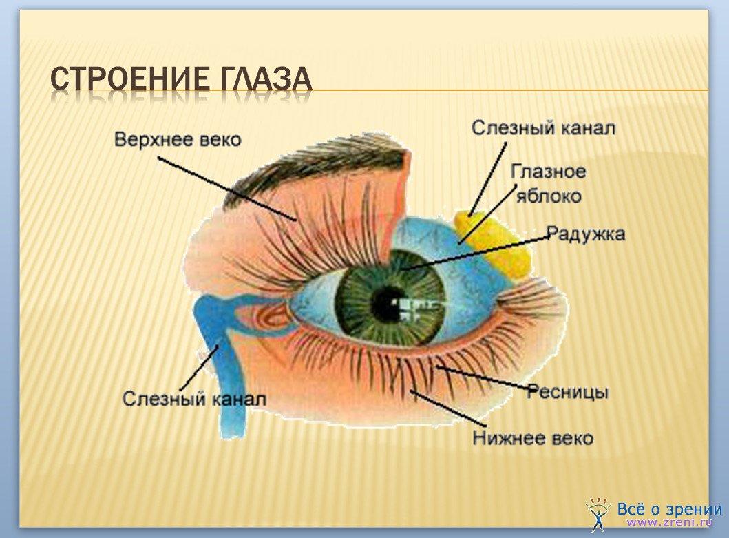 Урок физики по теме Человеческий глаз Зрение для класса  Схема проекционных зон органов тела человека на левой и правой радужках