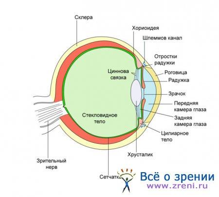 На этой странице собраны материалы по запросу анатомия радужной оболочки радужка средняя оболочка