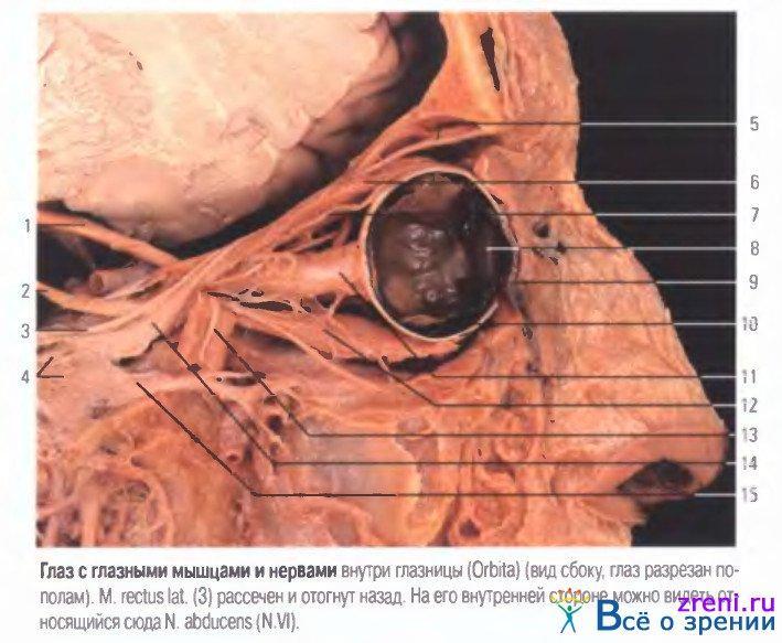 Органы зрения, глазные мышцы и