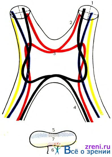 Схема расположепия нервных