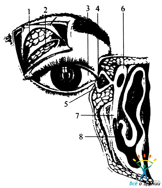 Схема строения слезного