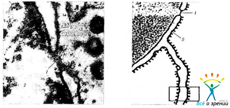 2 — ядро; 3 — цитоплазма