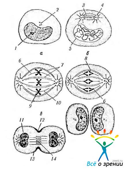 Фазы митотического деления (по