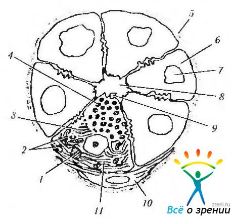Схема строения ацинуса слезной