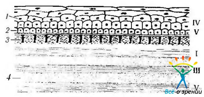 строения роговой оболочки