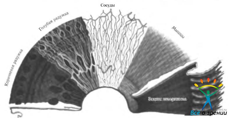 Варианты строения переднего поверхностного листка радужки ного у блондинов до