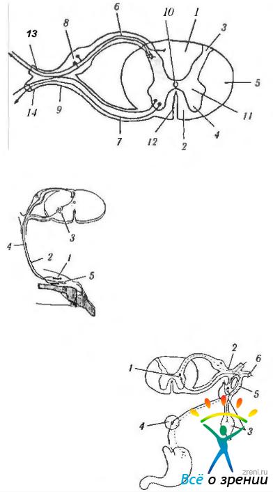 мозга и рефлекторных дуг:
