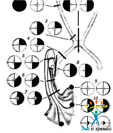 зрительной системы │