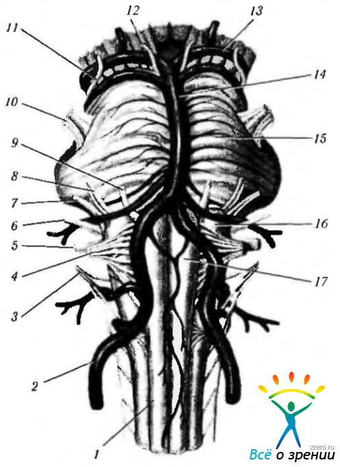 2 — позвоночная артерия;