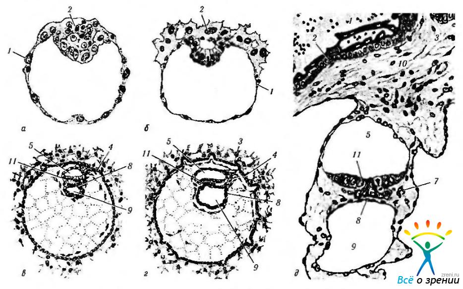 Ранние этапы развития эмбриона
