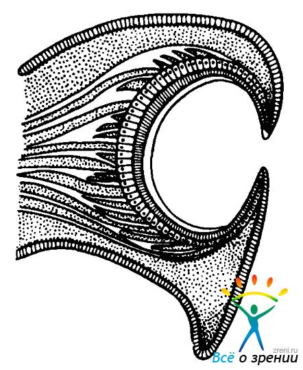 Схема органа зрения моллюска «