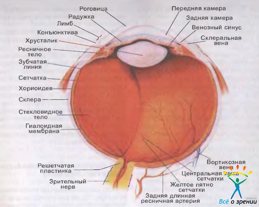 Яблоко Глазное фото