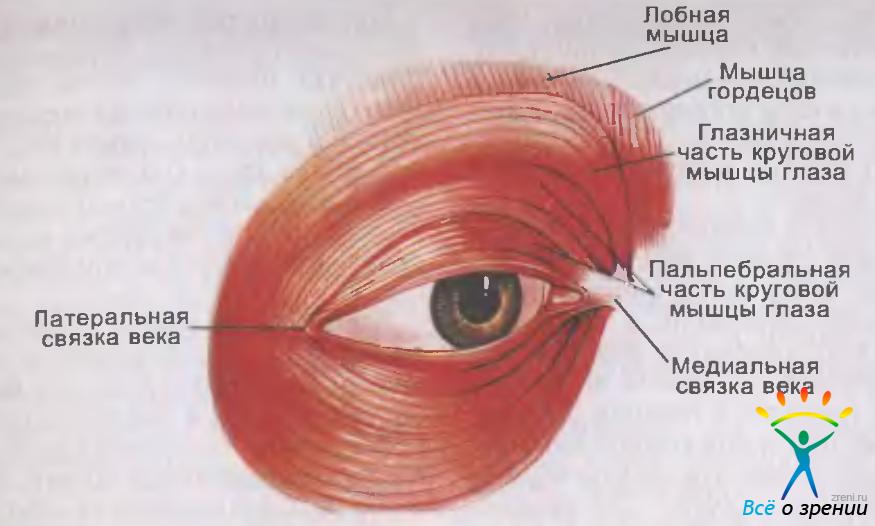 Мышца Круговая фото