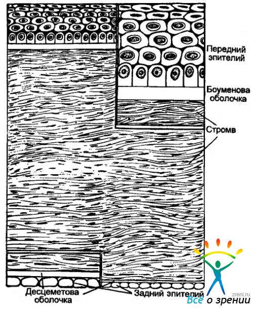 Строение роговицы (схема).