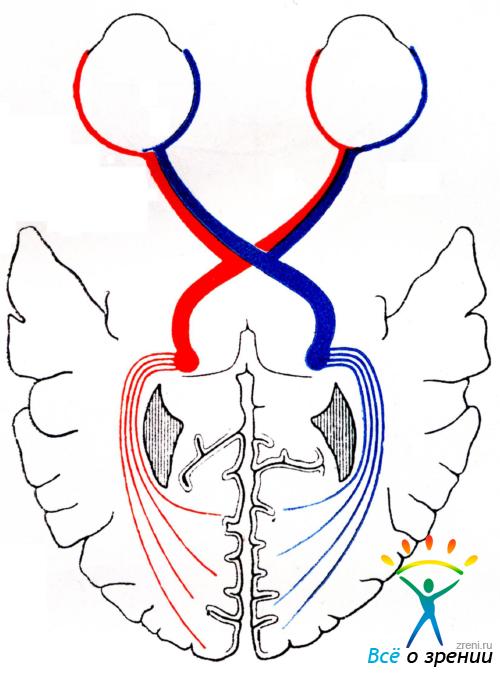 Схема зрительного пути (по