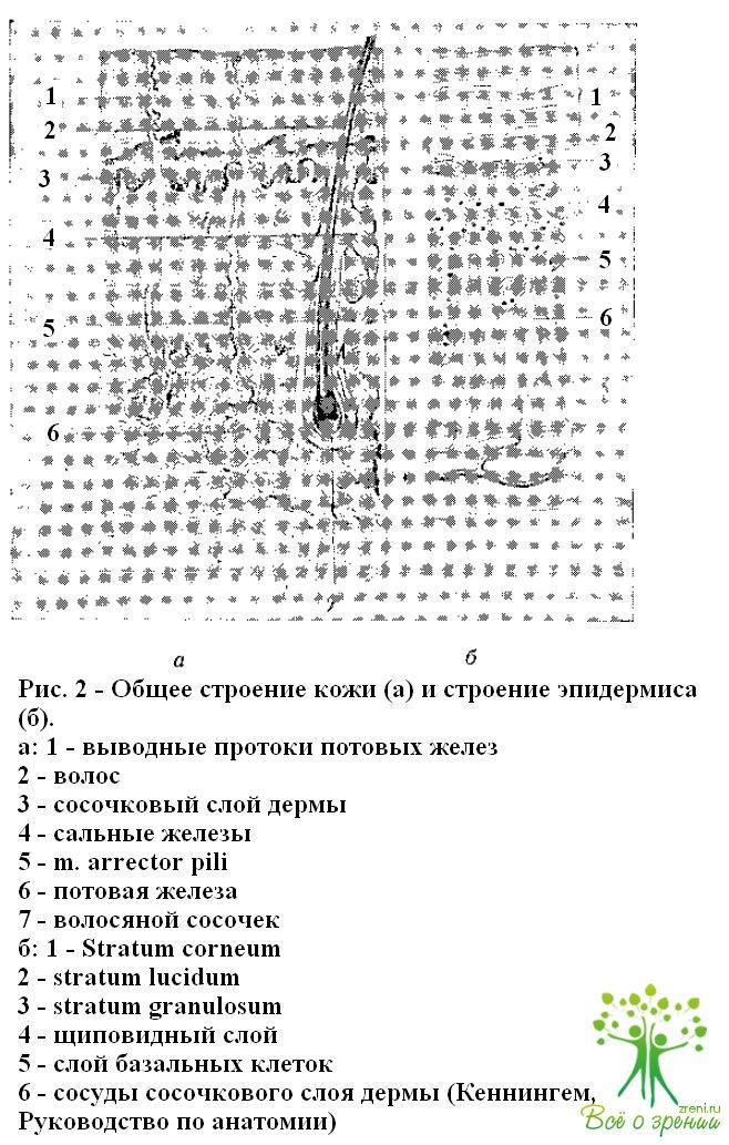 Слой Мальпигиев фото