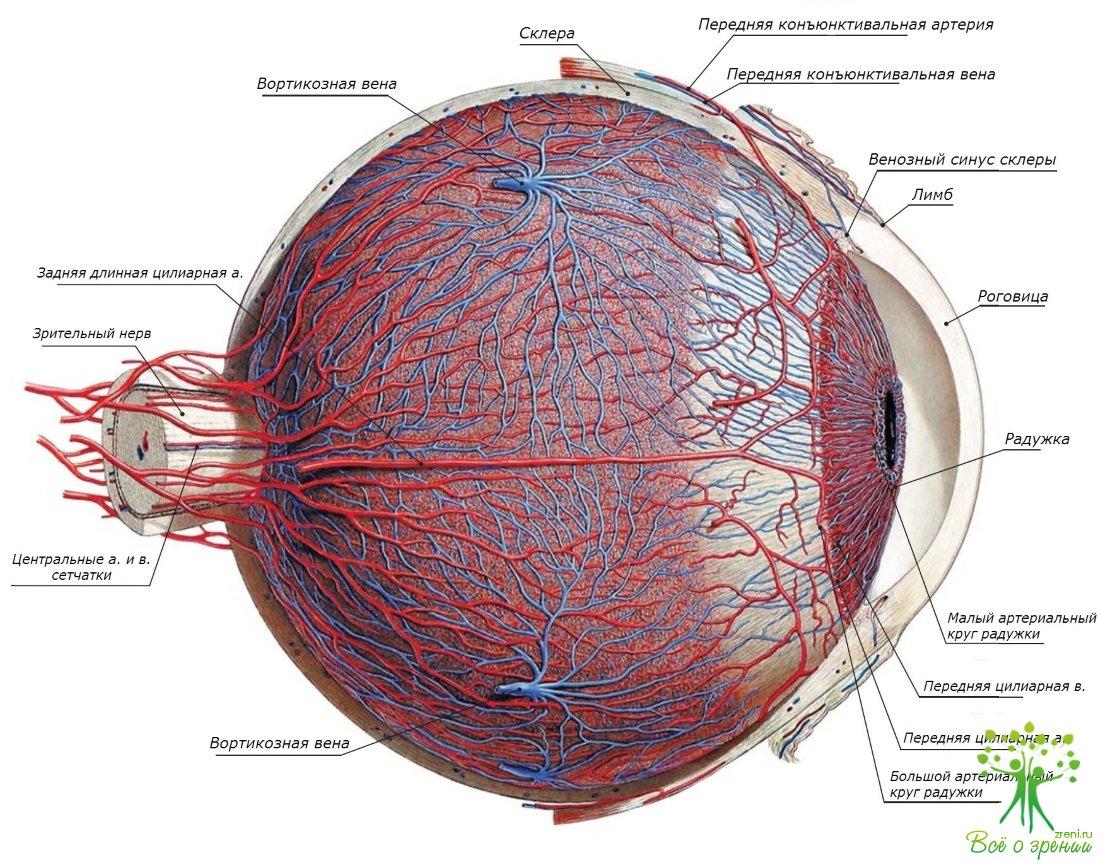 Реферат заболевания сосудистого тракта глаза 4154
